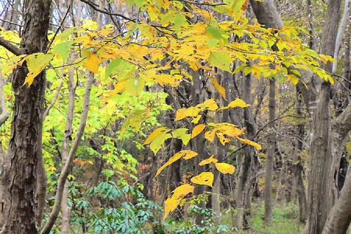 アサダという木,特徴