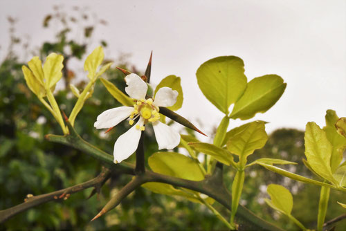 開花時期,枳殻の花