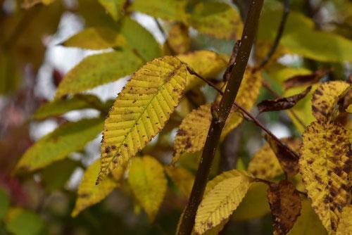 クマシデの紅葉 黄葉