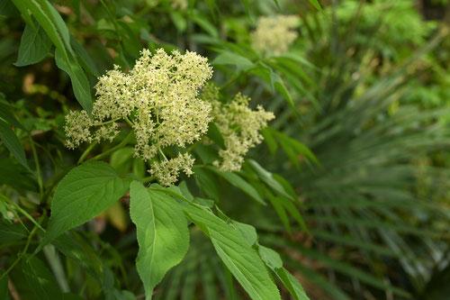 接骨木の開花