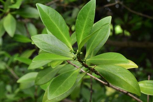 木茘枝,葉