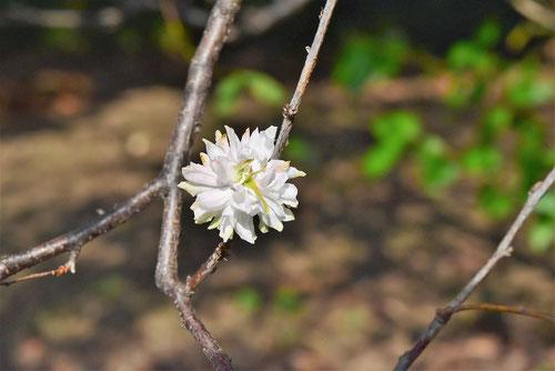 白い花が咲く庭桜