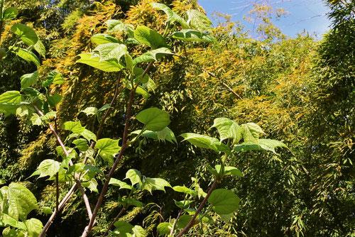 ウリノキ,庭木