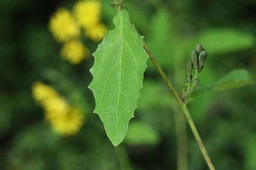 薬師草,葉,特徴