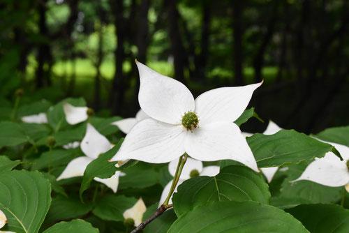 ヤマボウシ 開花時期