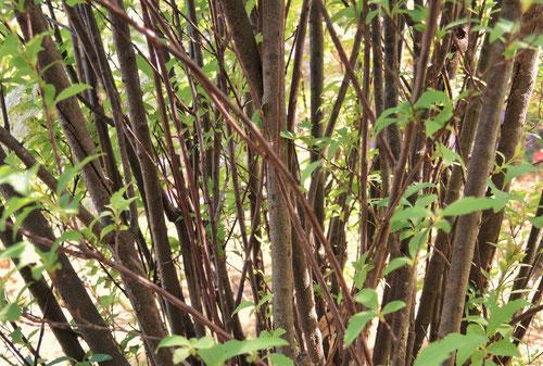 コデマリ 樹皮