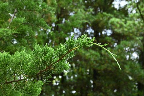 貝塚の木,庭木