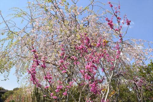 ハナズオウの花,スオウ