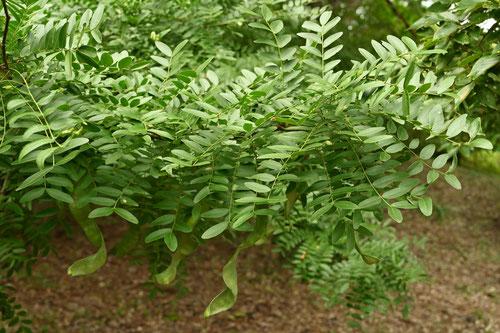 サイカチの花 庭木図鑑