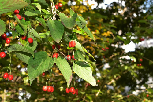 Trumpet creeper,fruits