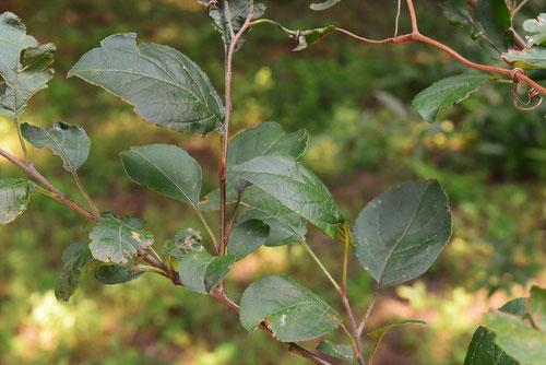ズミの木,葉っぱ