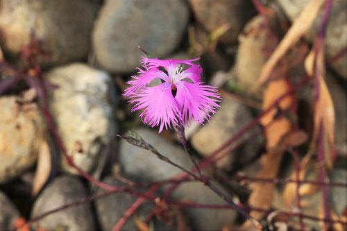 大和撫子の花