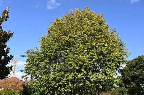 リンボク 樹木