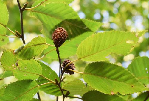 梓の木の実