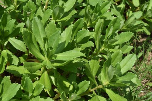 ハマギクの葉
