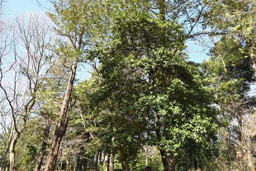 シキミ 樹木 大きさ