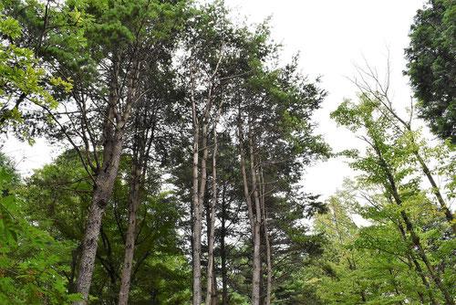 五葉松 樹形