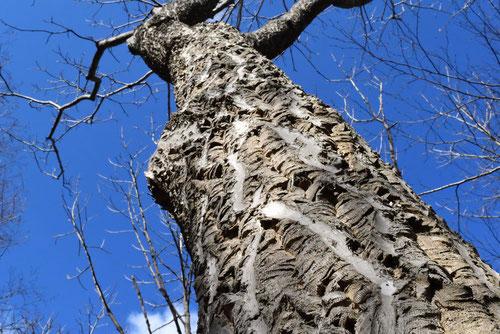 Amur Corktree,picture
