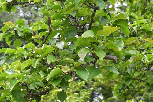 木蓮の木の葉