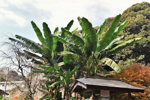 芭蕉の木とバナナの違い