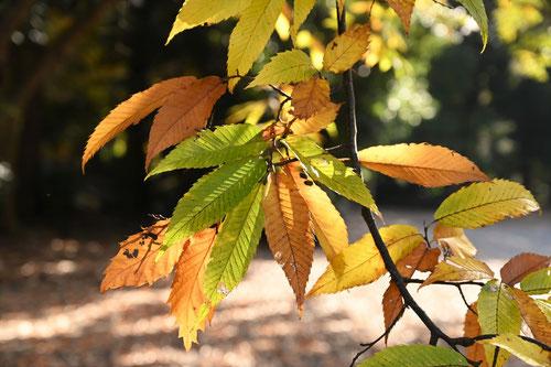 栗の紅葉,くり,黄葉
