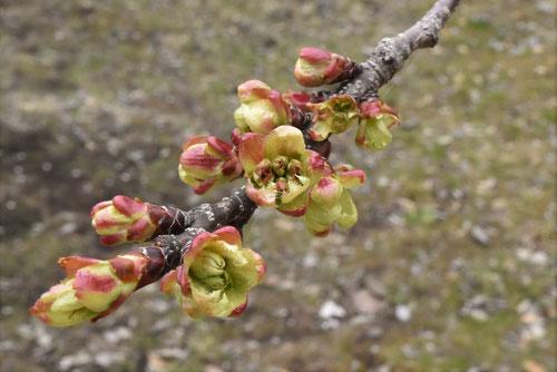 御衣黄,桜,蕾