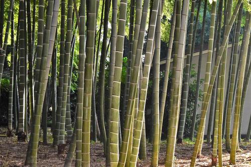 竹取物語,タケの種類