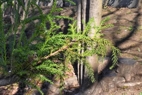 Japanese green cedar