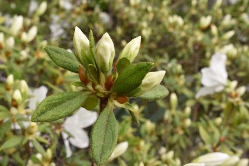 白琉球,植木