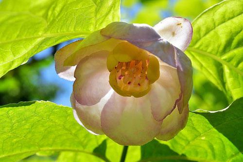 シャラメイ 開花時期