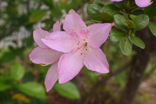 まるばさつき,花