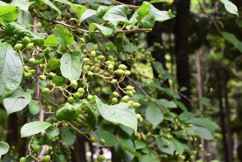 るり色の実ができる木