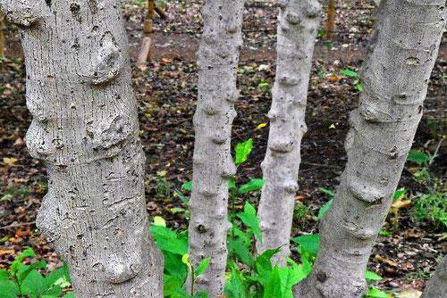 樹木 イヌビワの木