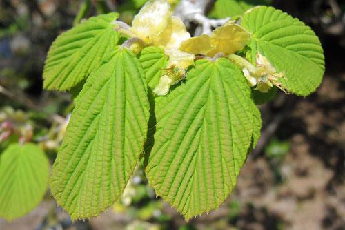 土佐みずき 葉っぱ 特徴