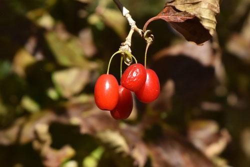 山茱萸の実 赤い実