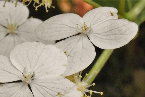 サビタの木の花