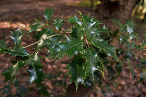ヒイラギ 樹木