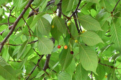 wild cherry tree in Japan