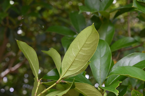 fragrant white olive,leaf