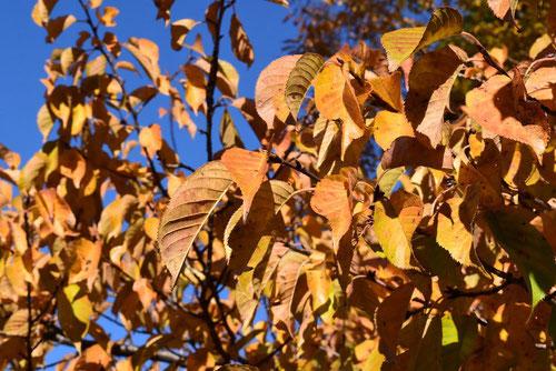 河津桜,黄葉,紅葉