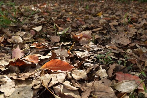 クスノキの落葉