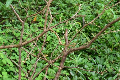 ナツボウズ 樹木