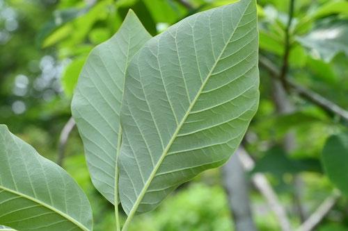 Ukezakioyama Magnolia