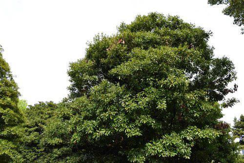 白ダモ 樹木 画像