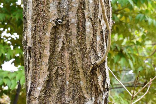 ならがしわ,樹木,幹