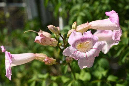 ピンク 花 ノウゼンカズラ