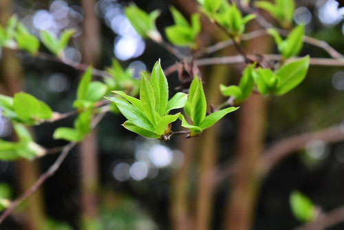 Japanese stuartia,leaf