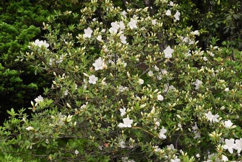 りゅうきゅうつつじの花