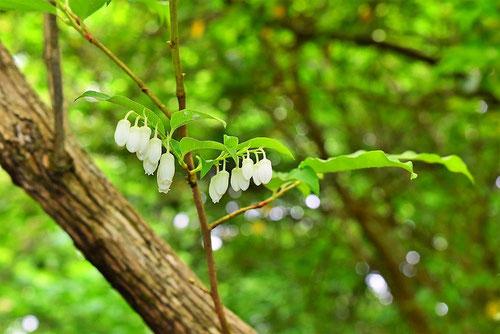 Japanese pieris,flower