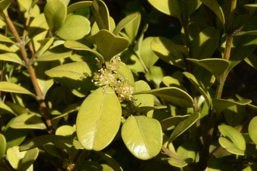 ボックスウッドの花,画像